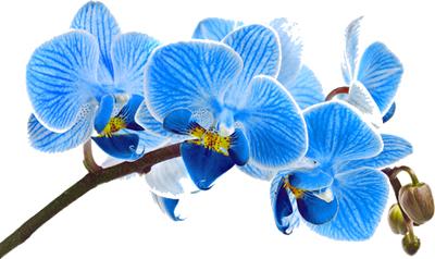 foto-orquidea-azul