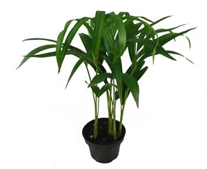 areca bambu pt 11 2