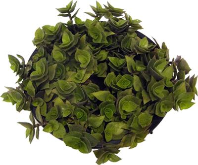 tostao-plantas-verdes