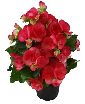 begonia rieger pt 11