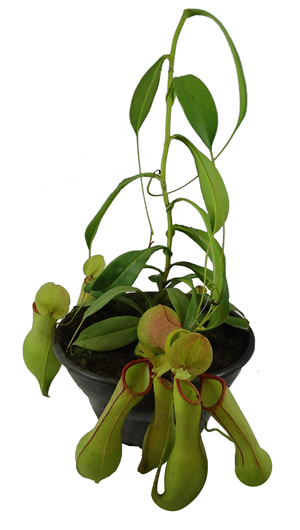 carnivora nepenthes 2