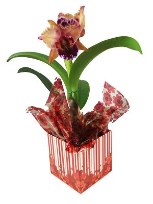 orquidea catleia